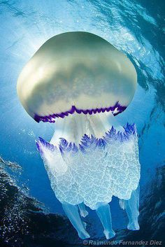Rhizostoma pulmo commonly known as the barrel jellyfish. It is found in the northeast Atlantic and Mediterranean Sea.