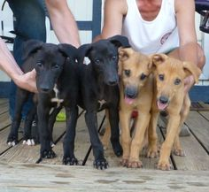So seldom we see greyt puppies!  To us rescuers we start to think they start out as adult hounds!