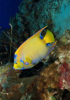 Queen Angelfish and reef Underwater Sea, Underwater Creatures, Ocean Creatures, Beautiful Sea Creatures, Animals Beautiful, Beautiful Fish, Colorful Fish, Tropical Fish, Saltwater Tank