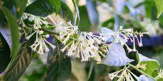 🌸🌺💐 Κήπος σημαίνει χρώμα και φυσικά... άρωμα! Αναλυτικός οδηγός για τη φροντίδα του νυχτολούλουδου με όσα πρέπει να γνωρίζουμε για να απολαμβάνουμε το μεθυστικό άρωμα του στον κήπο και σε γλάστρα στο μπαλκόνι. Αναλυτικός οδηγός για την φροντίδα του νυχτολούλουδου στον κήπο και σε γλάστρα, μαζί με συμβουλές για πλούσια ανθοφορία και έντονο άρωμα.