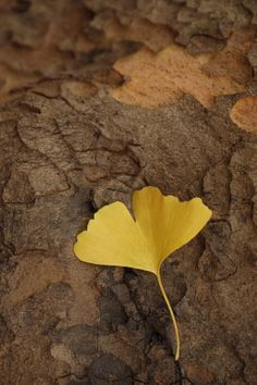 love doing dried ginkgo leaves on the tables instead of flower petals Leaf Flowers, Flower Petals, Dry Leaf Art, Leaf Illustration, Leaf Jewelry, Planting Seeds, Pressing Flowers, Royalty Free Stock Photos, Light Touch