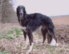 Borzoi Dog Info, Mixes, Temperament, Training, Puppies, Pictures Borzoi Puppy, Quiet Dog Breeds, Russian Wolfhound, Hound Breeds, The Perfect Dog, Animal Facts, Wild Dogs, Dog Memorial, Working Dogs