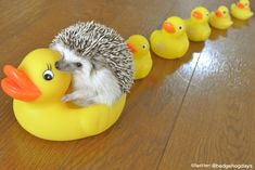 Next time you're having a bad day, just picture a hedgehog riding a rubber ducky.