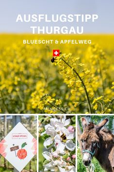 AUSFLUGSTIPP THURGAU: Die Bluescht-Saison im Thurgau bedeutet ein Meer an Blüten. Denn hier wird ein Grossteil des Schweizer Obst angebaut. Apfel, Kirsch, Birnen u.v.m.  Tipps für die Region: der Apfelweg in Altnau, das Bluescht-Fest oder eine Übernachtung im Bubble-Hotel. Places In Switzerland, Secret Places, Wild Nature, Bubble, Spaces, Plants, Pony Rides, Pears, Swiss Guard