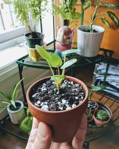 This pilea baby just wasn't growing until I repotted it in better soil. Now look at it go!