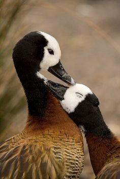 Adorable beautiful White faced whistling ducks love each other.