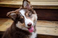 Charlie the border collie at 11 weeks.