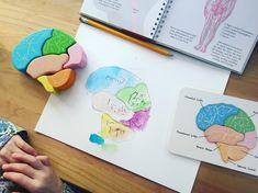 anatomy / brain 🧠