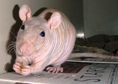 Hairless rat | Flickr - Photo Sharing!