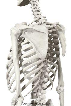 Human Skeleton Anatomy, Skeleton Body, Human Anatomy, Anatomy Tattoo, Anatomy Drawing, Anatomy Art, Muscle Anatomy, Body Anatomy, Human Bone Structure