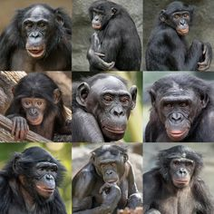 "The San Diego Zoo's ""Bonobo Bunch"" Top row, from left: Lisa, Vic, and Maddie. Middle row, from left: Belle, Loretta, and Kali. Bottom row, from left: Mali, Erin, and Makasi."