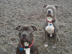 Meet Ava & Q,  adoptable American Staffordshire Terrier Dogs | Auburn, WA | This beautiful bonded duo are quite the intimidating pair... although really, they're goofy,...