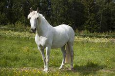 White horse -- Brincadora