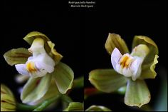 Rodrigueziella handroi - Flickr - Photo Sharing!