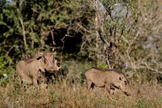 Get to know them a bit better:  Warthogs are day animals and spend most of their time looking for food. They are normally found in family groups. Warthogs have the peculiar habit of kneeling on the front knees while feeding and foraging in a localised area. They shelter in burrows at night, which they enter tail first. Socially, three main groups are encountered, namely solitary boars, bachelor groups and matriarchal groups. Matriarchal groups consist of adult sows with their young and… Shelter, Night, Animals, Food, Animales, Animaux, Essen, Animal, Meals