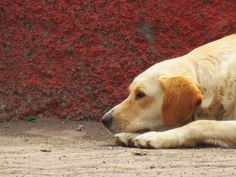 Golden Retriever in Hanga Roa #dogs #wildlife
