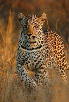 Handsome leopard in tall grass at sunset.