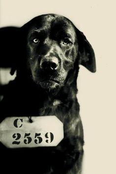 Ein traurig blickender Hund mit einer Häftlingsnummer um den Hals - das Verbrecherfoto des schwarzen Labrador-Retrievers Pep vom 12. August ...