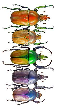 Taurhina longipes iturica