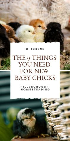 There's nothing cuter or funnier than new baby chicks. I've put together a list of what you'll need BEFORE you bring baby chicks home. Raising Backyard Chickens, Baby Chickens, Chicken Breeds, Chicken Coops, Chicken Nuggets, Chicken Home, Types Of Animals, Farm Life, Farm Animals