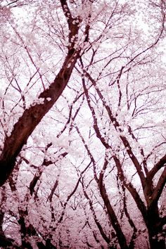 fyi: There are photos of other Asian countries as well (they are tagged)! Disclaimer: None of these pictures are mine unless stated (source given in the post) Hello~♥ I'm Sunny! Blossom Trees, Cherry Blossoms, Le Jolie, Jolie Photo, Contemporary Landscape, Color Of Life, Pictures To Paint, Landscape Paintings, Nature Photography