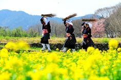 Yellow rapeseed flowers and cherry blossoms serve as a perfect backdrop for women dressed in Oharame costumes, which are traditionally indigo blue and red. (Nahoko Takizawa)