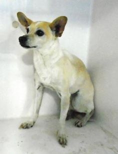 ●TO BE DESTROYED 2•24•17●Animal ID 34431205 rnBreedtChihuahua, Short Coat/Mix Age 5 years 17 days rnGendertFemale rnSizetSmall rnColortWhite/Tan rnSitetCity of El Paso Animal Services rnLocationtKennel C rnIntake Datet1/16/2017 rn