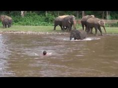 Elephant Comes To Rescue Caretaker From Raging River : Video Clips From The Coolest One
