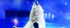 """A """"tragic polar bear"""" living in a cramped space in China's Grandview Aquarium incited international concern after photos and videos of him searching for a way out surfaced. Pizza the polar bear has been described as the """"world's saddest polar bear"""" and Animals Asia is gathering signatures to close the Grandview Aquarium. Now Yorkshire Wildlife Park has offered to provide Pizza with a large new home, but it's unclear whether or not the aquarium will let Pizza go."""