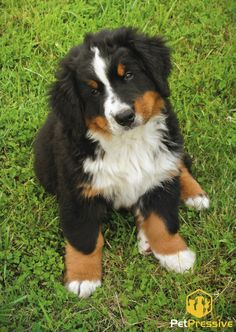 It wasn't me... Bernese Dog, Pet Names, Your Pet, Photos, Puppies, Bernese Mountain Dogs, Animaux, Pet Dogs, Names Of Animals
