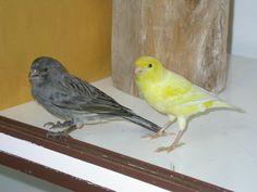 Canary - Grey morph & Yellow morph (standard) Finches, Parrot, Birds, Yellow, Grey, Animals, Parrot Bird, Gray, Chaffinch