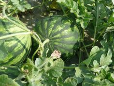 When is Labor Day, when watermelon is ripe, planting garlic, avocado dressing
