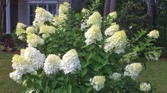"panicle hydrangea (Hydrangea paniculata) zone full sun needs good drainage blooms summer to fall ""Pee Gee"" up to white to pink flowers or Limelight as seen above Hydrangea Paniculata, Hydrangea Shrub, Hydrangea Bloom, Limelight Hydrangea, Hydrangea Colors, Hydrangea Care, Oak Leaf Hydrangea, Bobo Hydrangea, Pee Gee Hydrangea"
