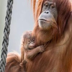A beautiful male Sumatran Orangutan, named Ombak, was born at Zoo Basel on March 4 to first-time mom, Kila. More at ZooBorns.com #zoobasel #baselzoo #sumatranorangutan #orangutan #ombak #criticallyendangered #handsomeginger