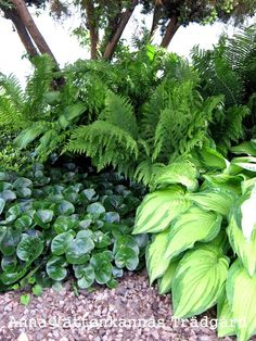 Wild ginger, ferns, and chartreuse hostas Ferns Garden, Shade Garden Plants, Lawn And Garden, Outdoor Plants, Outdoor Gardens, Hosta Gardens, Woodland Garden, Gras, Begonia