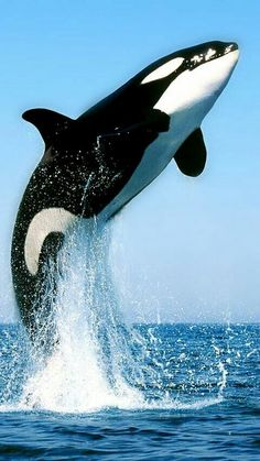 Killerwal M rderwal Orka orca whale Beautiful Creatures, Animals Beautiful, Majestic Animals, Beautiful Beautiful, Adorable Animals, Beautiful Pictures, Fauna Marina, Ocean Creatures, Tier Fotos