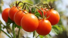 These tomato growing tips will help you get the best yield from your tomato plants this year. Knowledge makes growing tomatoes a more pleasurable gardening experience. Growing Tomatoes Tomatoes are the most popular home garden