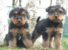 Cute welsh Terrier puppies