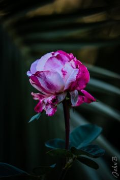 https://flic.kr/p/SXV1Do | Roses - Flowers - Las Garzas - April 24 2017-2 | Also join me at www.flickr.com/photos/jax_chile/ and/or johnbankson.tumblr.com/  Photos by John Edward Bankson using a Fujifilm X-T2 camera paired with a Fujinon XF50-140mm F2.8 R LM OIS WR lens with a Fujinon XF 1.4X TC WR teleconverter.