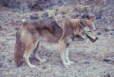 Wolf, mexican