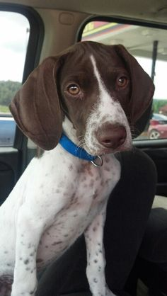 German Shorthaired pointer-i could stare at these dogs all day!