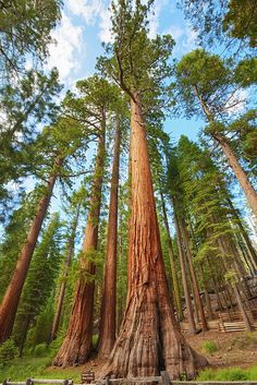 Mariposa Grove - Yosemite, California