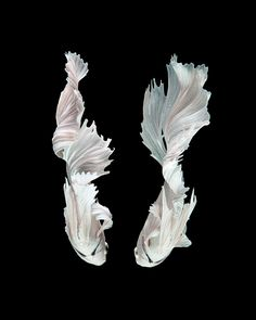 Fairy Tail (Capture the moving moment of white siamese fighting fish isolated on black background), by Jirawat Plekhongthu