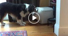 Donos Pensavam Que Nenhum Cão Conseguia Abrir Esta Caixa, Mas Ele Provou o Contrário