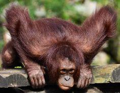 Stretching orangutan image via Tampa's Lowry Park Zoo at www.Facebook.com/TampaZoo