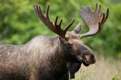 Tips for moose hunting success