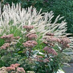 Pennisetum orientale & Sedum- inspiration for my rock garden border