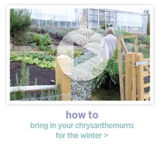 #How #To #Bring #In your #Chrysanthemums for the #Winter