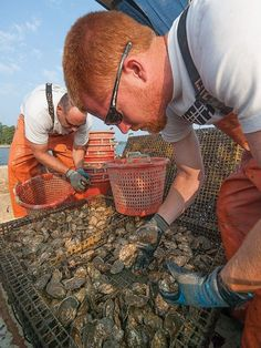 """10.31.13 - Nitrogen removal credits explored for oyster aquaculture - """"if the amount of nitrogen removed can be quantified, oyster growers and others who put the bivalves in the water might get financial credit for helping to meet nutrient reduction goals set by the Chesapeake Bay Total Maximum Daily Load, or pollution diet"""""""