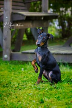 My Manchester terrier puppy posing for a photo My Manchester terrier puppy posing for a photo Source by The post My Manchester terrier puppy posing for a photo appeared first on McGregor Dogs. Terrier Puppies, Bull Terrier Dog, Terrier Mix, Dogs And Puppies, Doggies, Toy Manchester Terrier, Black And Tan Terrier, English Toy Terrier, Really Cute Dogs